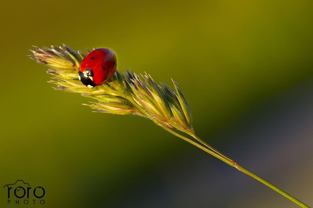 Coccinella - fotografo Roberto Rossi - AsiagoWebcamIt - Altopiano7cIt
