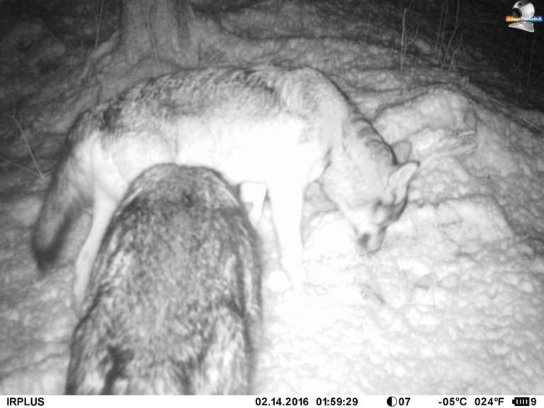 Ritornano i Lupi sull'Altopiano di Asiago 7 Comuni
